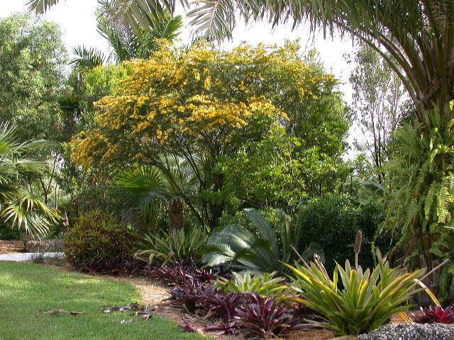 Senna polyphylla Desert cassia