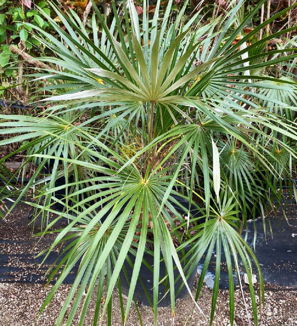Leucothrinax Morrisii Keys Thatch Palm