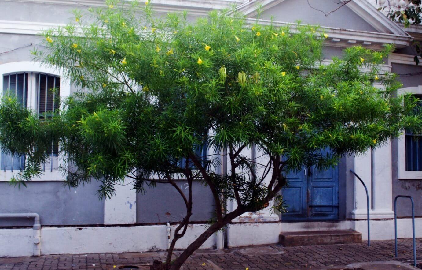 Thevetia peruviana Lucky nut