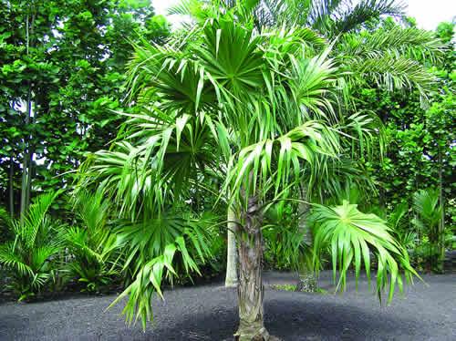 Thrinax radiata Thatch Palm