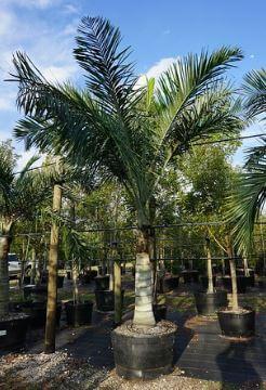 Pseudophoenix Sargentii Buccaneer Palm