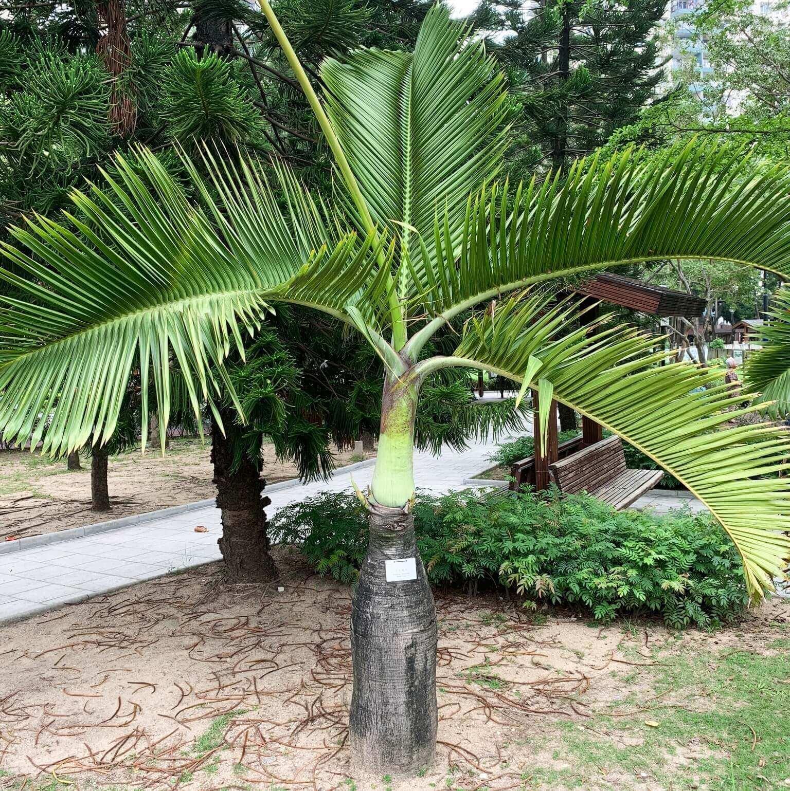 Hyophorbe Lagenicaulis Bottle Palm
