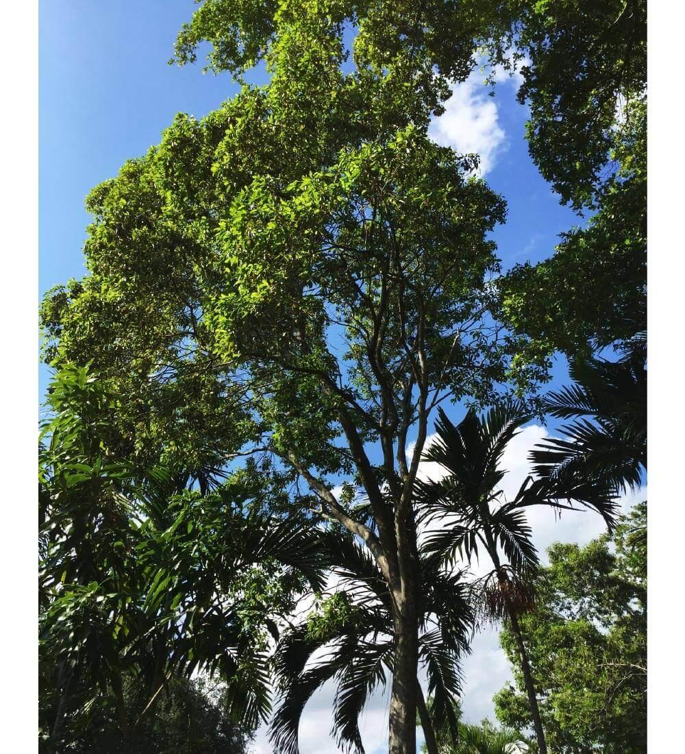 Sideroxylon Salicifolium Willow Bustic