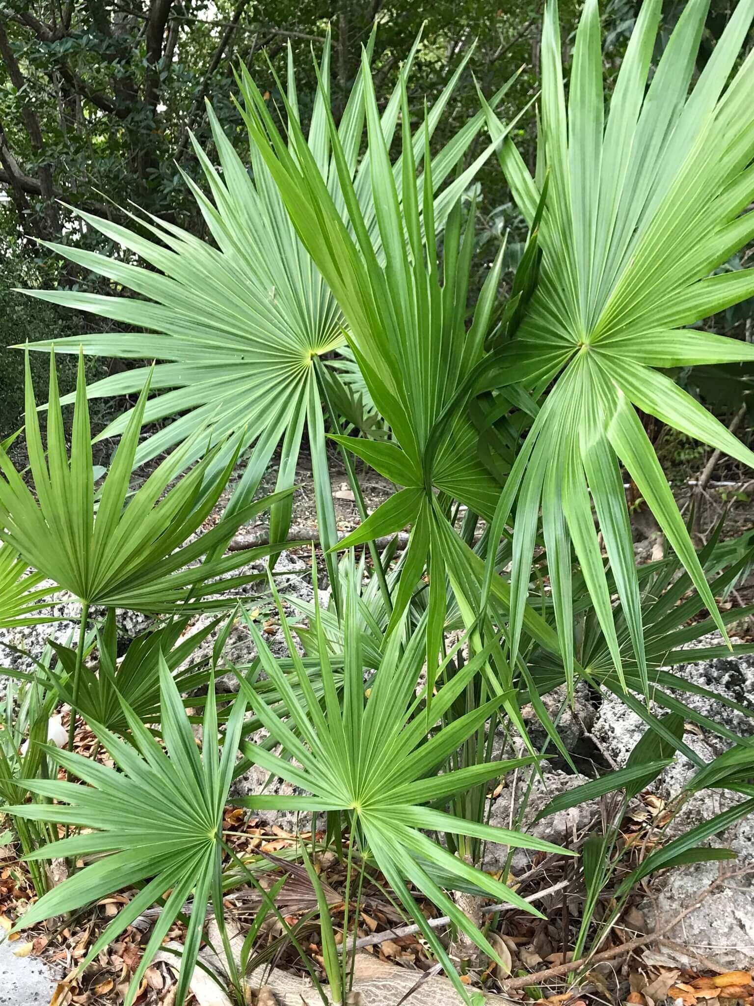 Serenoa repens Saw palmetto