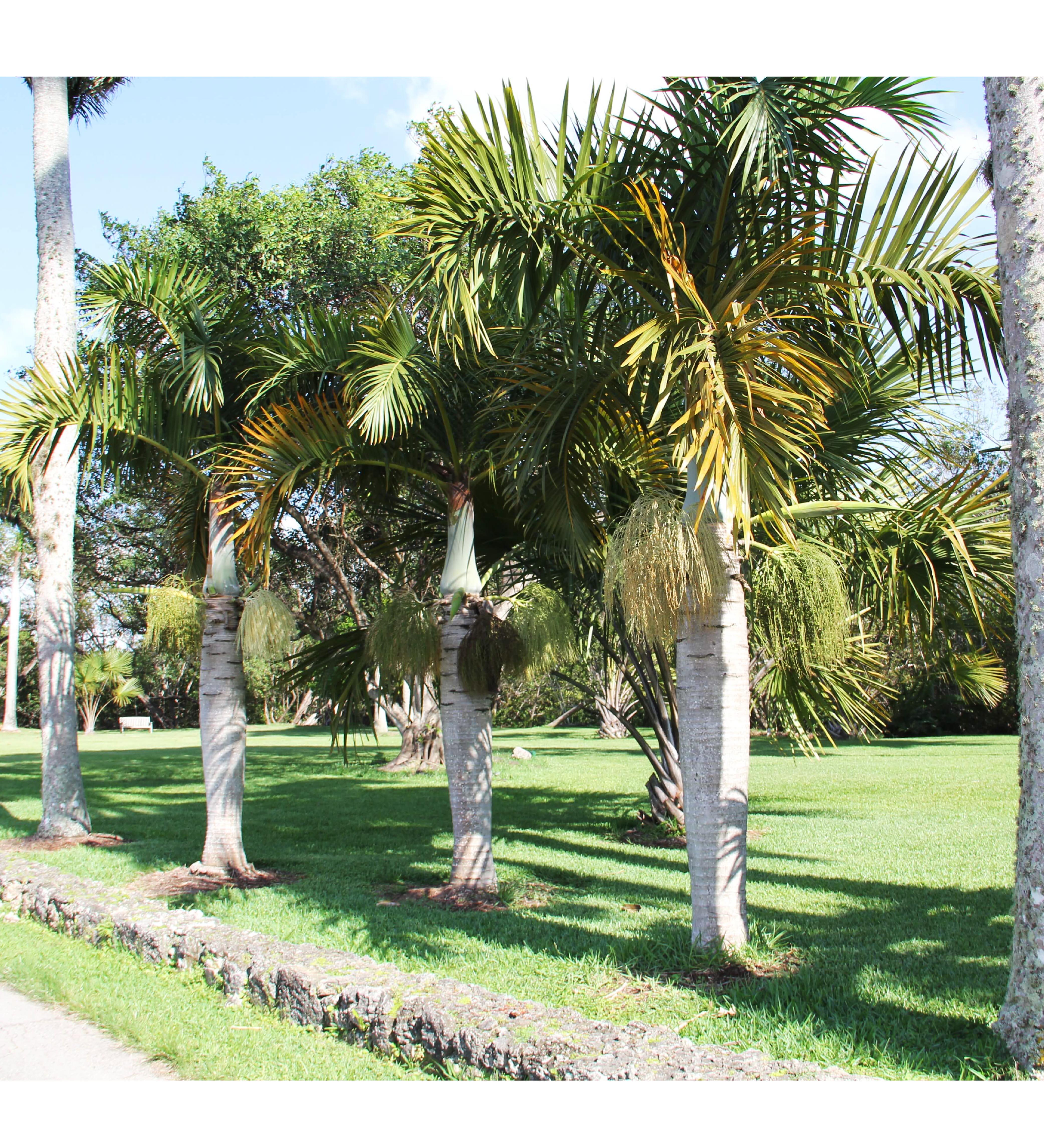 Hyophorbe Verschaffeltii Spindle Palm