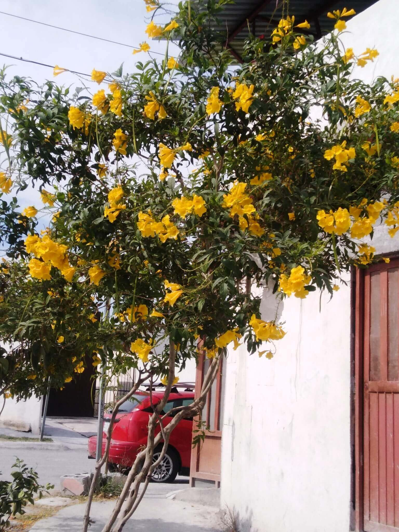 Tecoma stans Yellow elder