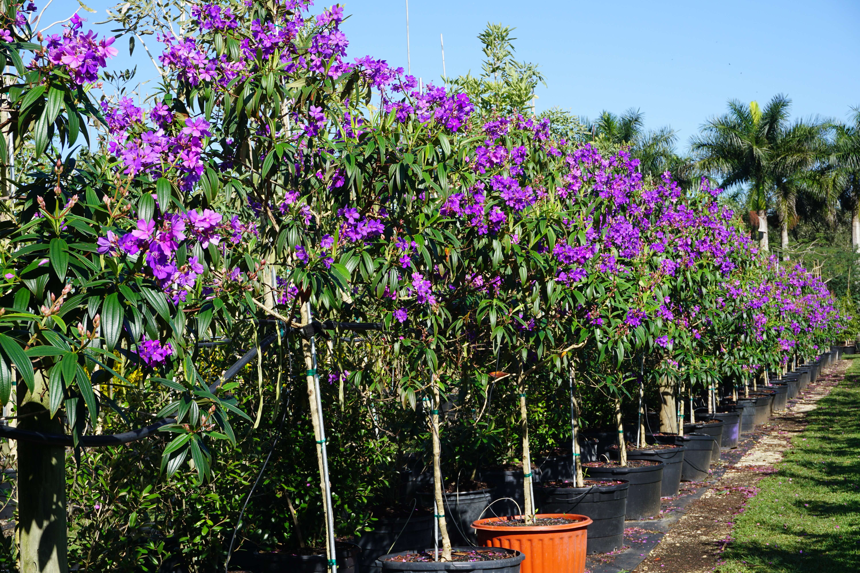 Tibouchina granulosa Purple Glory Tree